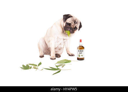 cute pug puppy pet dog eating weed, Cannabis sativa, leaves sitting next to dropper bottle of CBD oil for animals, - Stock Photo