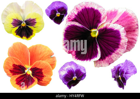 Pansy flowers isolated on white background. Viola tricolor red blue yellow macro closeup. - Stock Photo