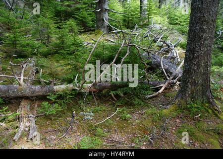 Several old fallen tree trunks and bark flakes with new spruce vegetation starting to grow around - Stock Photo