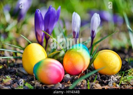 Coloured Easter eggs before blossoming crocuses, Bunte Ostereier vor bluehenden Krokussen - Stock Photo
