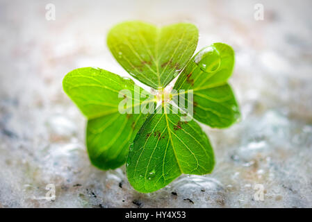 4-leaved cloverleaf, four-leafed clover, Oxalis tetraphylla, luck symbol, Vierblaettriges Kleeblatt, Gluecksklee - Stock Photo