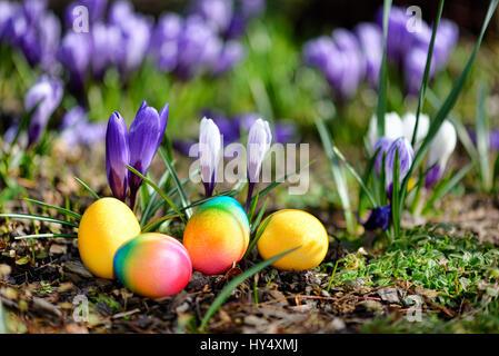 Easter eggs before blossoming crocuses, Ostereier vor bluehenden Krokussen - Stock Photo