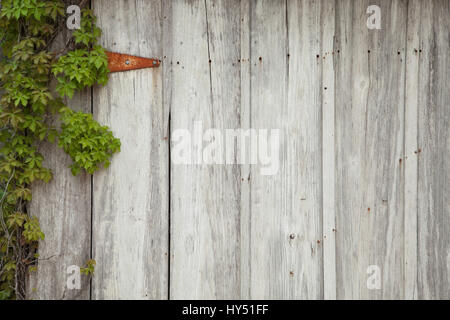 An old wood door with ivy, a rusty hinge, nails and holes - Stock Photo