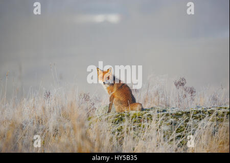 Sweden, Uppland, Lidingo, Red Fox (vulpes culpes) sitting in meadow - Stock Photo