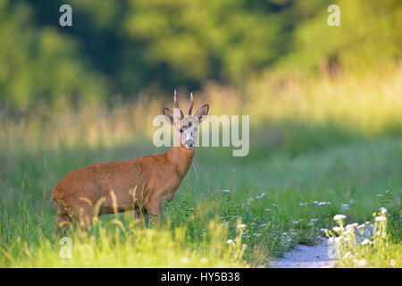 Sweden, Uppland, Lidingo, European roe deer (Capreolus capreolus) in meadow - Stock Photo