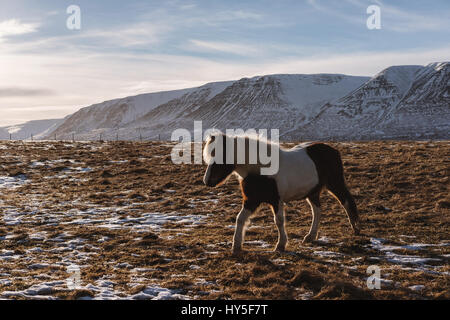 a Horse walking in the field at farmland in winter - Stock Photo
