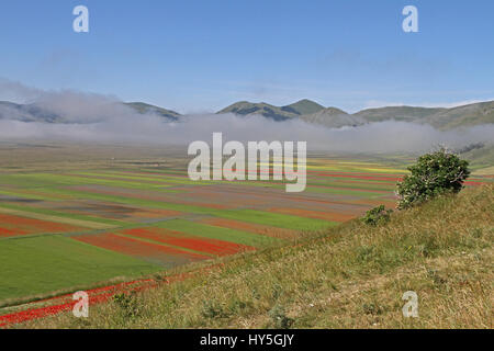 Lentils flowering in Pian Grande in Castelluccio di Norcia in Umbria Italy before the earthquakes in 2016 and 2017 - Stock Photo