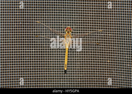 Dragonfly red-veined darter Latin name sympetrum fonscolombii or fonscolumbei resting on a screen door in Italy - Stock Photo