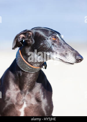 Outdoor portrait of purebred black Galgo Espanol sighthound - Stock Photo