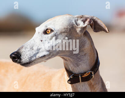 Outdoor portrait of Galgo Español or Spanish Greyhound - Stock Photo