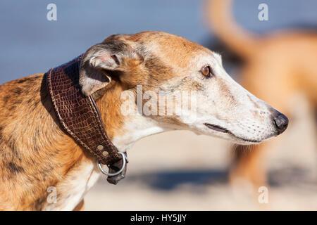 Outdoor portrait of Galgo Español or Spanish Greyhound - Stock Photo