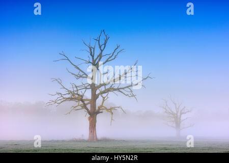 Dead solitary oaks (Quercus robur) in dense morning fog, Middle Elbe Biosphere Reserve, near Dessau, Saxony-Anhalt, - Stock Photo