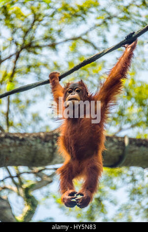 Borneo Orangutan (Pongo pygmaeus) hanging on a rope, climbing, captive, Singapore zoo, Singapore