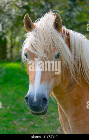 Haflinger horse portrait - Stock Photo