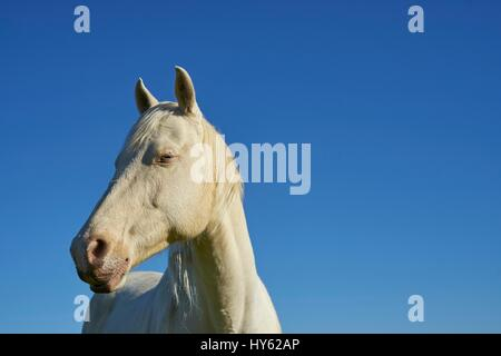 A blue-eyed white horse against the Alabama sky. - Stock Photo