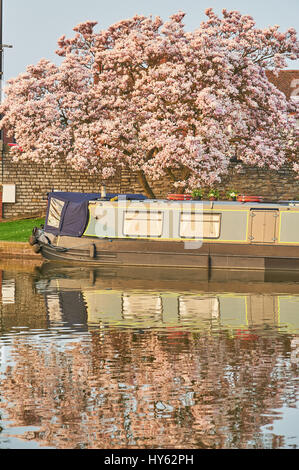 Narrowboat moored in Bancroft Basin at the end of the Stratford upon Avon canal with magnolia tree reflections - Stock Photo