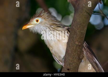 Two Guira Cuckoos (Guira guira) perched in foliage - Stock Photo