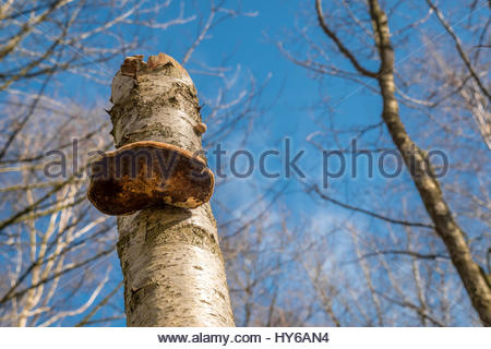 Close up of parasitic birch bracket fungus growing on silver birch tree trunk in woodland on Spring day with blue - Stock Photo
