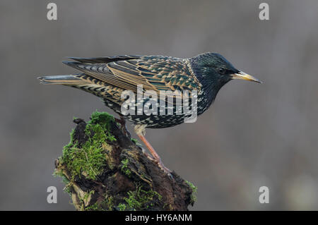 Starling on a branch - Stock Photo