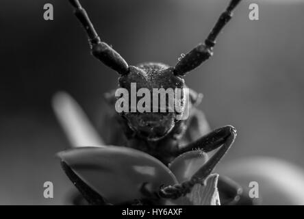 Brown beetle on leaf macro shot in black and white. - Stock Photo