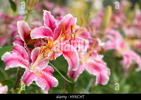 Pink Asiatic lily flower in the garden - Stock Photo