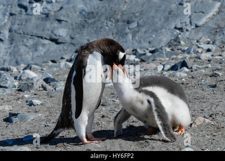 Adult Gentoo penguin with chick. - Stock Photo