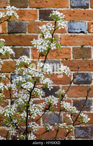 common hawthorn tree in flower - Stock Photo
