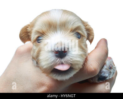 Havanese puppy looks into the camera with his tongue out - Stock Photo