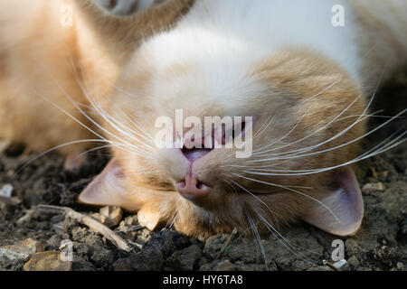 Cute ginger cat upside down in the dirt mud with mouth slightly open looking as is sneezing laughing or snoring - Stock Photo