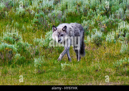Alpha Male Wolf of the Wapiti Lake Pack in the Hayden Valley, Yellowstone National Park, Wyoming, United States, - Stock Photo