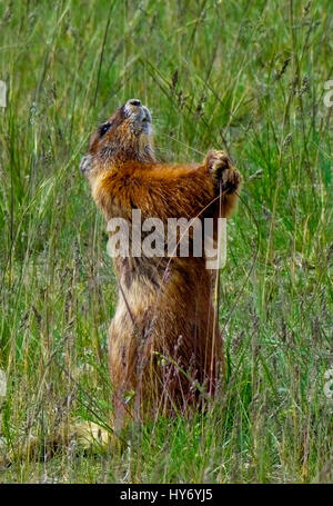 Marmot standing on two legs eating grass, in Yellowstone National Park, Wyoming, United States.  Summer 2016. - Stock Photo