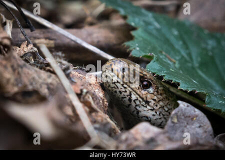Slow-worm under a leaf - Stock Photo
