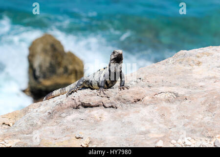 Lizard on the rocks next to ocean - Stock Photo