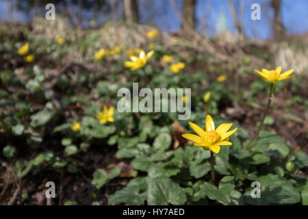 Fig buttercup, Ficaria verna, aka Ranuculus ficaria, Yellow spring flower - Stock Photo