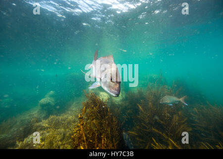 Snapper fish underwater swimming over kelp forest at Goat Island, New Zealand - Stock Photo