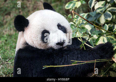 Giant Panda (Ailuropoda melanoleuca), Panda, Macau Panda's Pavillion, Macau - Stock Photo