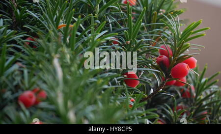 close up of yew tree with berries - Stock Photo