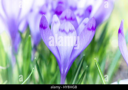 Purple flower in nature. Beautiful crocus flowers during spring. Selective focus. - Stock Photo