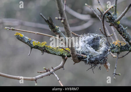 an abandoned empty birds nest on a lichen covered branch - Stock Photo