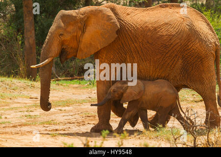 African Elephant (Loxodonta africana) mother and calf on the savannah, Samburu National Reserve, Kenya - Stock Photo
