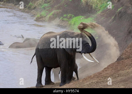 African Elephant (Loxodonta africana) herd taking a dust bath after crossing the Mara River, Masai Mara National - Stock Photo