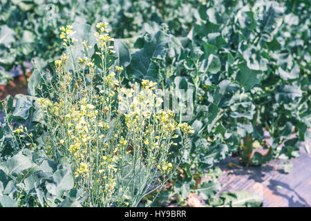 Chinese kale vegetable in garden - Stock Photo