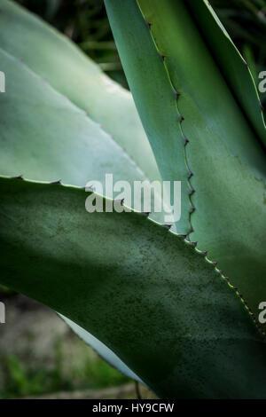Aloe vera Spikes Plant Succulent Gardening Horticulture Trebah Garden Cornwall - Stock Photo