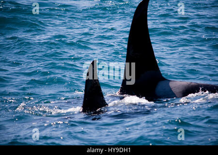 A family of wild killer whales swimming in the ocean near Seward, Alaska. - Stock Photo