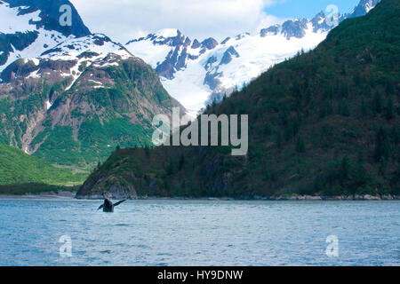 A whale jumps out of the ocean in front of the mountains of Seward, Alaska. - Stock Photo