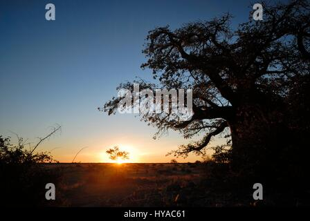 Sunset reflection on a Baobab tree on Kubu Island in the Makgadikgadi Pans of Botswana - Stock Photo
