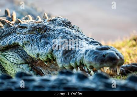 Close up of a crocodile near San Blas, Nayarit, Mexico. - Stock Photo