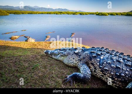 Several large crocodiles hang out near the mangroves of San Blas, Nayarit, Mexico. - Stock Photo