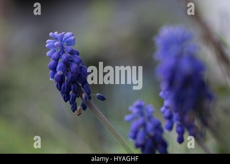 Blue Grape Hyacinth, Muscari armeniacum flowers. - Stock Photo