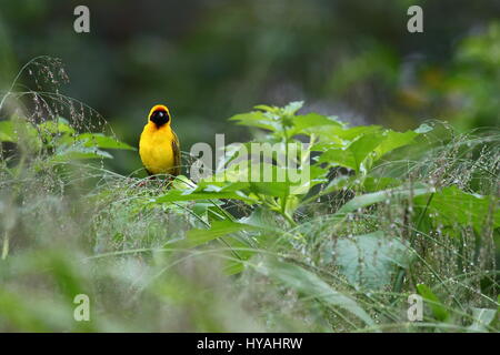 African or Southern Masked Weaver Ploceus velatus male in breeding plumage. Lusaka, Zambia, Africa - Stock Photo